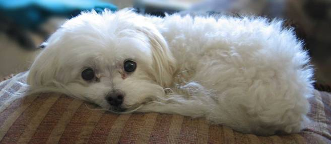 athenastock__maltese_pillow_1_by_athenastock
